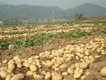 PotatoTissueCulture